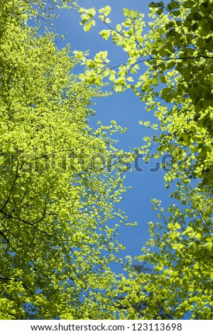 treetops of beech trees in spring, view from bottom up, against blue sky - stock photo