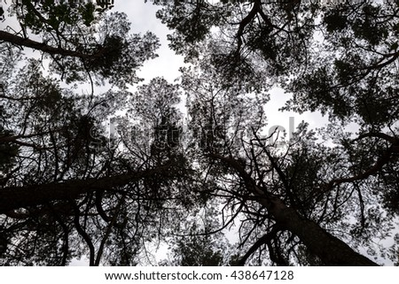 treetops of pine forest - stock photo