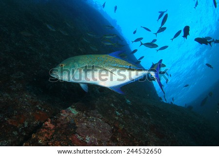 Trevally or Jack Fish - stock photo