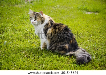 Tri-color fluffy cat