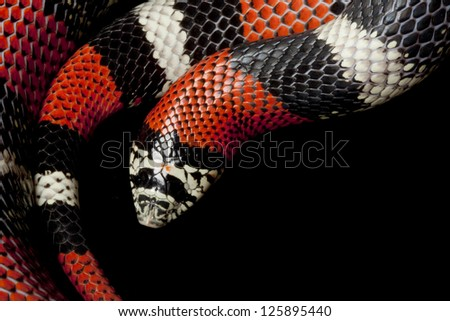 Tri-color hognose snake (Lystrophis pulcher) isolated on black background. - stock photo