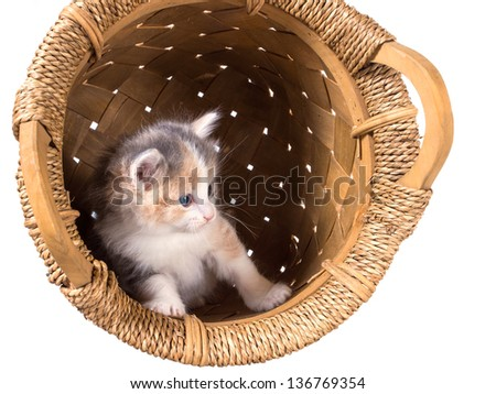 Tri-color kitten in a basket   isolated on a white background - stock photo