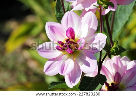 Trial Dahlia - stock photo