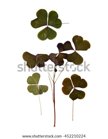 triangular dark green smooth leaves with no clearly defined structure, stem,  dry pressed delicate decorative sorrel isolated on white background scrapbook - stock photo