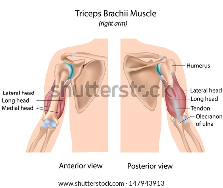 Triceps Brachii Muscle Labeled Stock Illustration 147943913