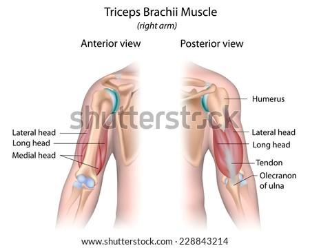 Triceps brachii muscle labeled. - stock photo