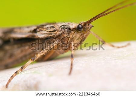 Trichoptera - stock photo