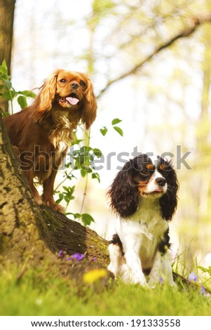 trick with two fun cavalier king charles spaniel puppy - stock photo
