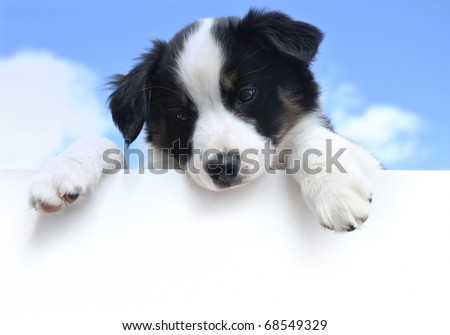 Tricolor Australian Shepherd (Aussie) Puppy Above a Blank Sign - stock photo