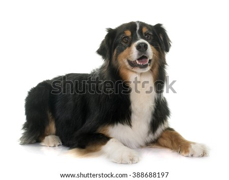 Tricolor Australian shepherd dog in front of white background.