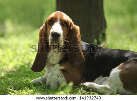Tricolor Basset Hound Limousine Dog - stock photo