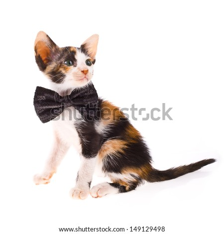 tricolor - Calico cat - little kitty with a black bow at the neck isolated on white background - stock photo