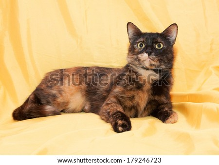 Tricolor cat lies and looks warily on golden background