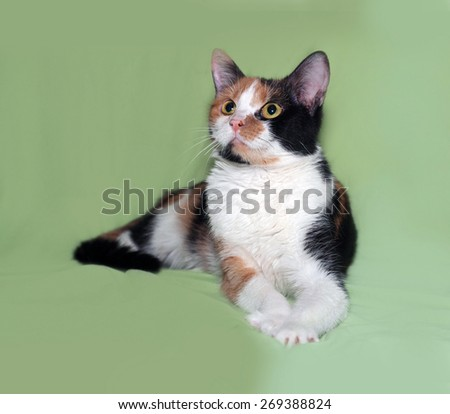 Tricolor cat lies on green background