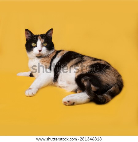 Tricolor cat lies on yellow background