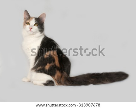 Tricolor cat sitting on gray background