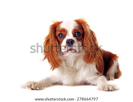 Tricolor cavalier king Charles spaniel isolated on white.Studio shot.
