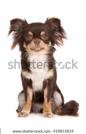 tricolor chihuahua dog sitting on white - stock photo