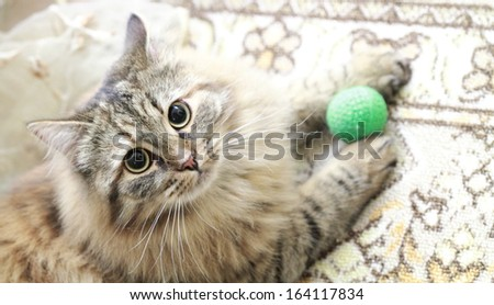 tricolor female of cat playing with a ball,siberian breed - stock photo