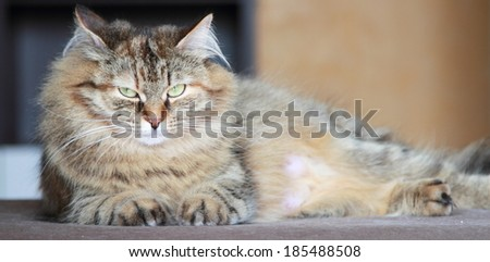 tricolor female of cat, siberian breed