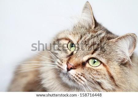 tricolor female of siberian cat - stock photo