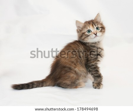 Tricolor fluffy kitten looking up sitting on gray-white background
