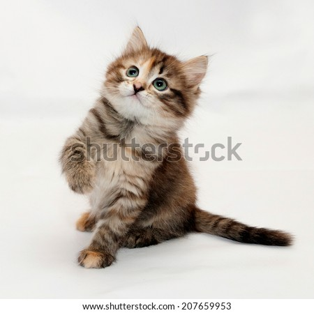 Tricolor fluffy kitten plays, lifting front foot on white background