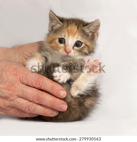 Tricolor fluffy kitten sitting in hand on gray background