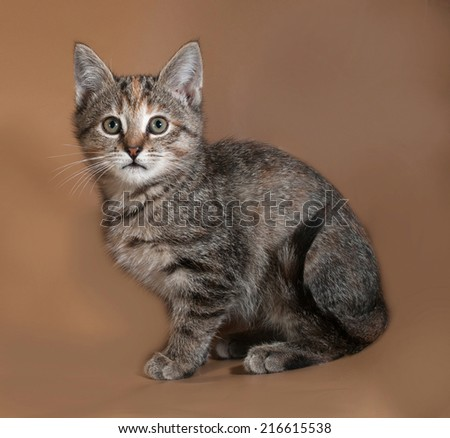 Tricolor kitten lies on brown background