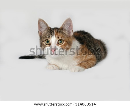 Tricolor kitten lies on gray background