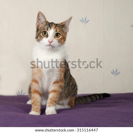Tricolor kitten sitting on lilac bed