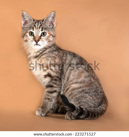 Tricolor kitten standing on brown background