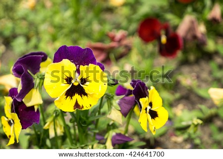 Tricolor Pansies, Violet and yellow multicolor pansies outdoor in nature. Closeup. Selective focus. 