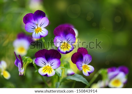 Tricolor pansy flower plant natural background, summer time - stock photo