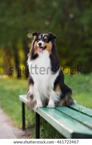 tricolor sheltie dog sitting on a bench outdoors