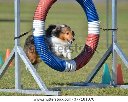 Tricolor Shetland Sheepdog (Sheltie) Leaping Through a Tire at Dog Agility Trial - stock photo