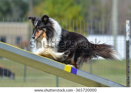 Tricolor Shetland Sheepdog (Sheltie) on a Teeter-Totter at Dog Agility Trial - stock photo