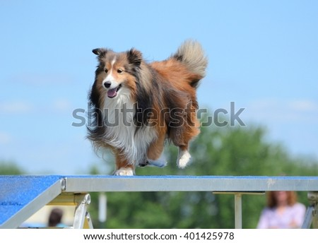 Tricolor Shetland Sheepdog (Sheltie) Running on a Dog Walk at an Agility Trial - stock photo