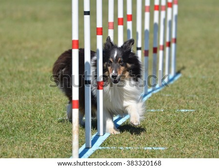 Tricolor Shetland Sheepdog (Sheltie) Weaving Through Poles at Dog Agility Trial