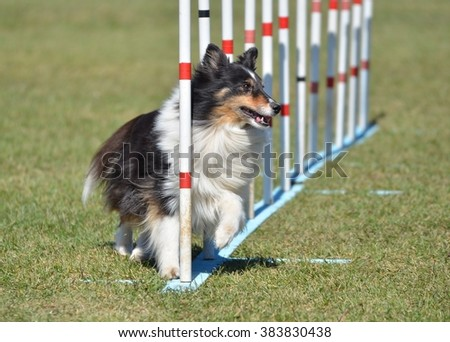 Tricolor Shetland Sheepdog (Sheltie) Weaving Through Poles at Dog Agility Trial - stock photo