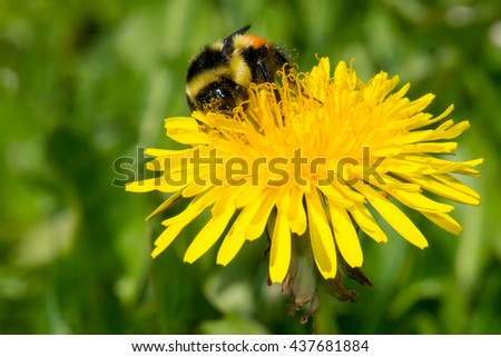 Tricolored Bumblebee collecting nectar from a dandelion flower. - stock photo