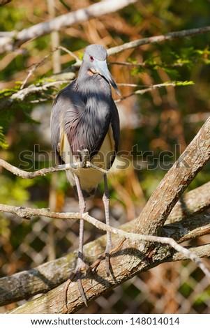 Tricolored Heron, Egretta tricolor - stock photo