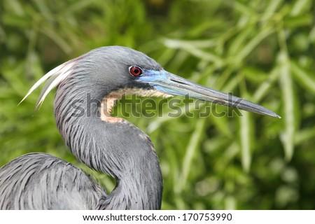 Tricolored Heron (Egretta tricolor) in the Florida Everglades - stock photo