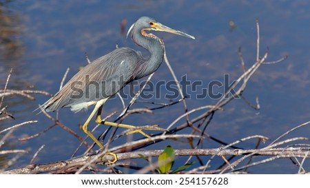 Tricolored Heron, Egretta tricolor, searching for food - stock photo