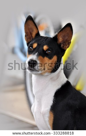 Tricolour Basenji dog portret. The Basenji is a breed of hunting dog that was bred from stock originating in central Africa. - stock photo