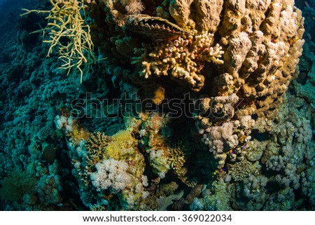 Tridacninae on the reef of the Red Sea