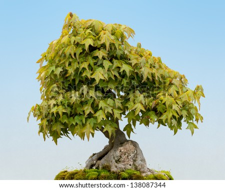 Trident Maple (Acer buergerianum) bonsai tree - stock photo