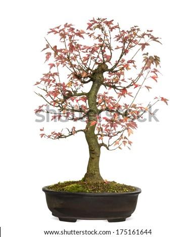 Trident Maple bonsai tree, Acer buergerianum, isolated on white - stock photo