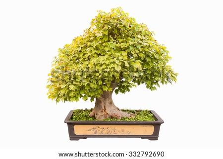 trident maple in autumn bonsai with a white background - stock photo