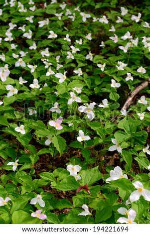 Trillium bed Blooming on the Forest Floor. Trillium grandiflorum is the official emblem of the Province of Ontario and the State Wildflower of Ohio.  - stock photo
